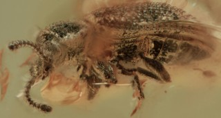A new fossil genus of the tribe Synchitini Erich...