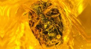 A new Eocene Bacanius species (Histeridae: Dendr...