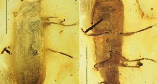 A new fossil Eurypinae genus and sexual dimorphi...
