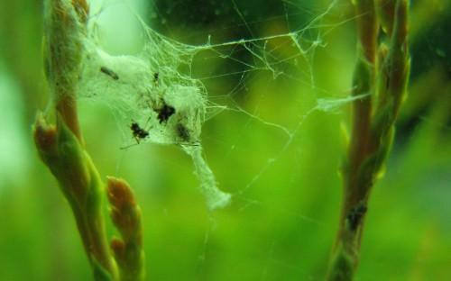 Рис. 44. Тенёты современных пауков с жертвами (Калининградская область, Куршская коса)