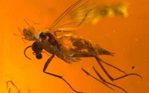 Рис. 89. Клещи из семейства Erythraeida, паразитирующие на длинноусыхдвукрылых насекомых (Diptera, Nematocera)
