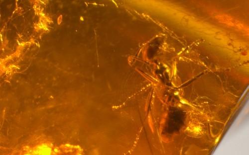 Рис. 48. Муравей Iridomyrmeх (Hymenoptera, Formicidae) в паутине