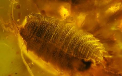 Рис. 2. Мокрицы в янтаре (Isopoda, Oniscidea)