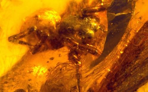 Рис. 35. Паук из семейства Salticidae (пауки-скакуны)