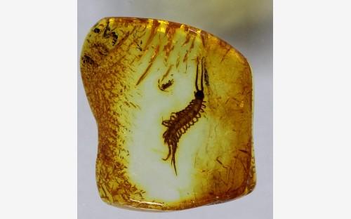 Рис. 17. Многоножки-костянки (Lithobiidae)