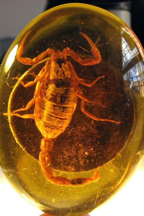 Рис. 107. Современный скорпион, заключенный в смолу